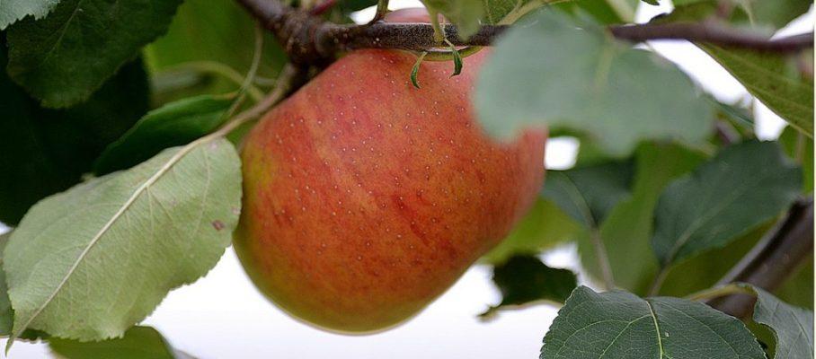 Les croqueurs de pommes